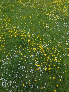 Daisies, buttercups and grass