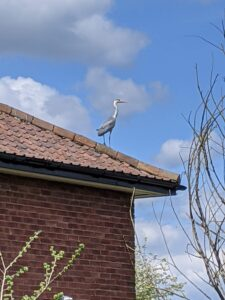 Heron on a roof