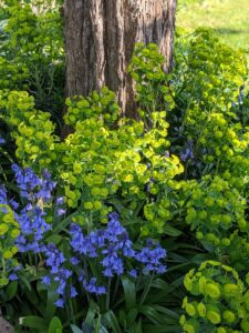 Bluebells and Wood Spurge