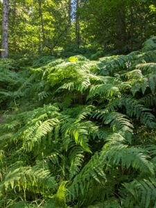 Ferns with trees in the background