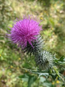 A  flowering thistle